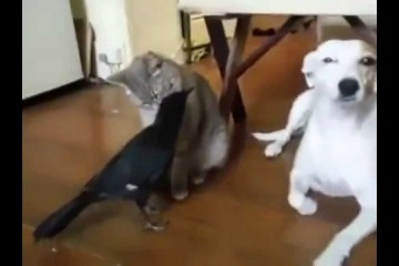 Rabe füttert Hund und Katze