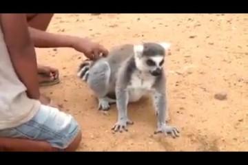 Lemuren streicheln, aber richtig