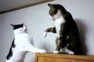Zwei Katzen geben sich Ohrfeigen